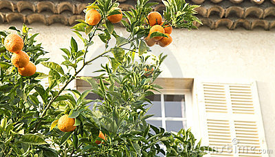 Orange mandarin tree