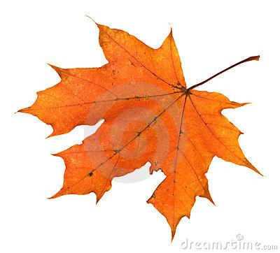 Orange maple leaf isolated