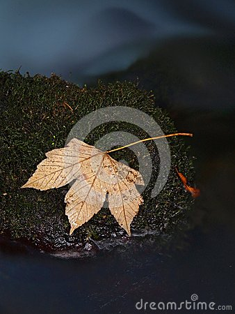 Orange maple leaf on mossy stone below increased water level.
