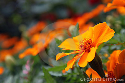 Orange marigold - Tagetes Lucida