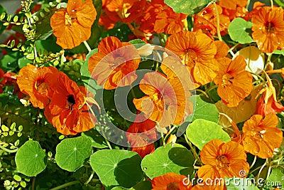 Orange nasturtium blooming in the garden