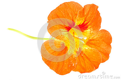 Orange Nasturtium Flower