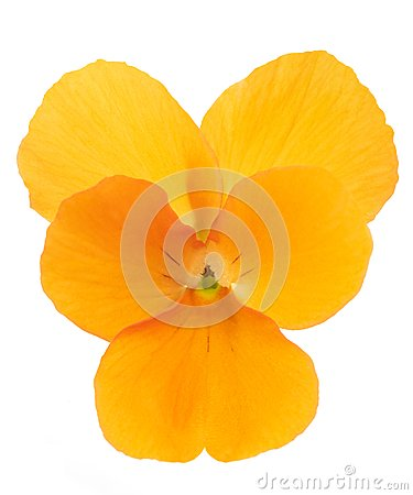Free Orange Pansy Flower Stock Image - 115563201