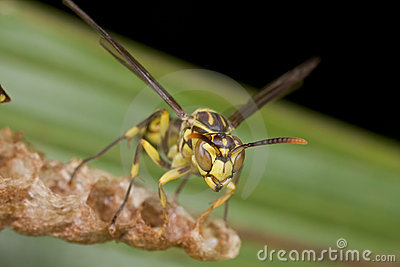 An orange paper wasp on its nest