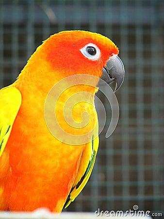Orange Parrot 2