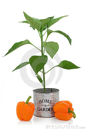Orange Pepper Plant