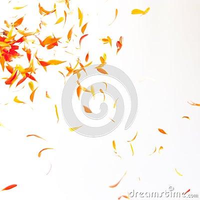 Free Orange Petals Background Royalty Free Stock Image - 7103176