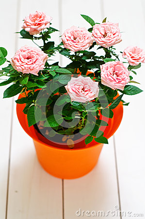 Orange plastic pot with pink mini Rosa