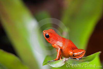 Orange poison dart frog