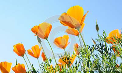 Orange poppies against blue sky