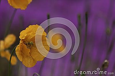 Orange poppy Stock Photo