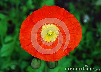 Orange Poppy, Yellow Stamens