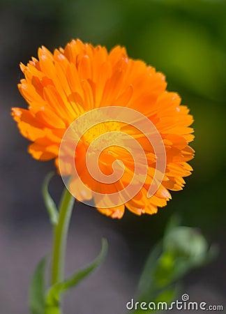Free Orange Pot Marigold (Calendula Officinalis) Field Stock Photos - 4107263