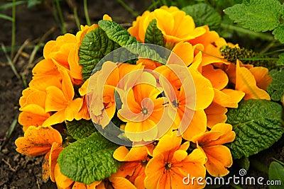 Orange primula flowers