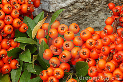 Orange red Red winter berries