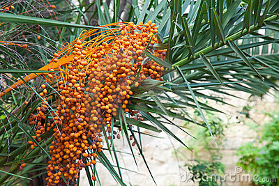 Orange ripen bunches of dates