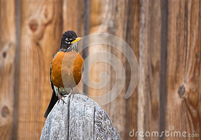 Orange Robin Bird Perched on Wood post