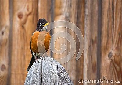 Orange Robin Bird Perched on Wood post