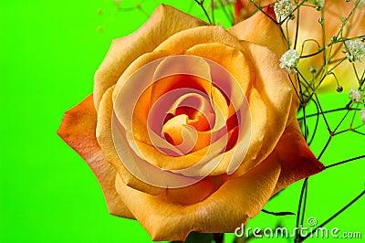 Orange Rose 4