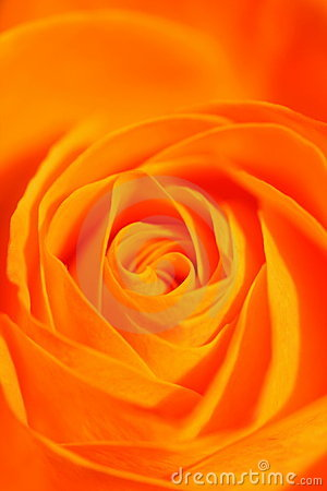 Free Orange Rose Royalty Free Stock Image - 5237406