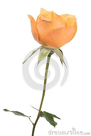 Free Orange Rose Stock Photo - 6883660