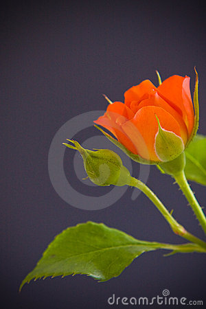 Free Orange Rose Flower Royalty Free Stock Image - 5958966