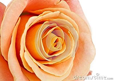 Orange rose isolated