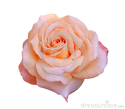 Orange rose isolated