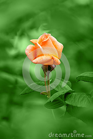 Orange rose on rain