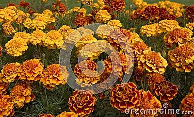 Orange Roses in bloom