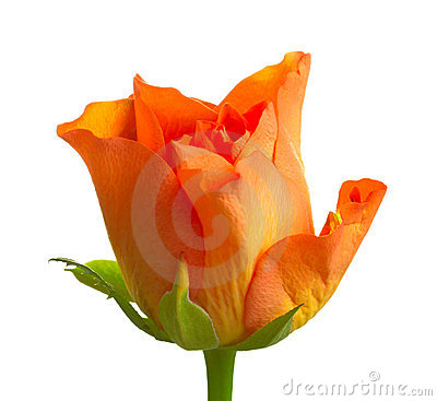 Orange roses isolated