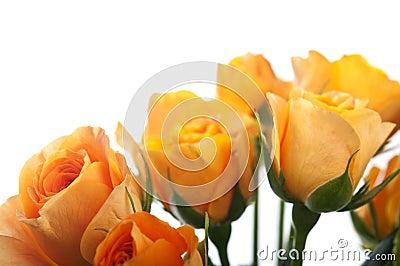 Orange roses isolated