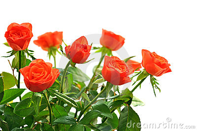 Orange roses isolated on white