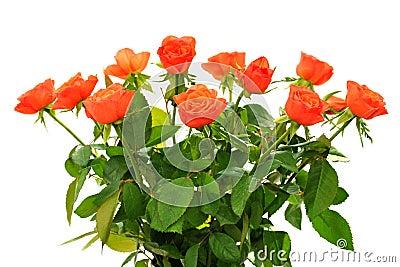 Orange roses on isolated white