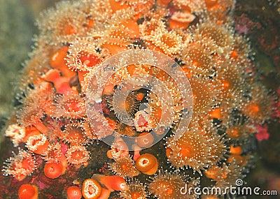 Orange sea urchins