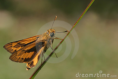 Orange Skipper Butterfly Royalty Free Stock Images - Image: 10277039