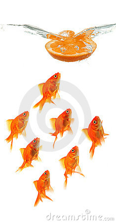 Free Orange Slice Dropping Into Water With Goldfish Royalty Free Stock Photography - 9698167
