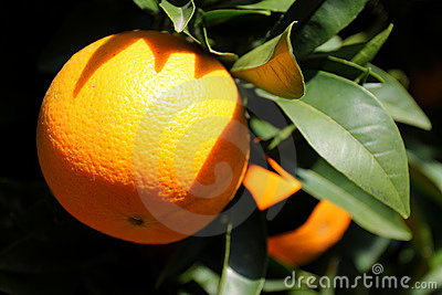 Orange sur un arbre