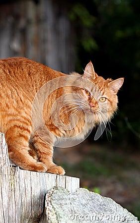 Orange Tabby