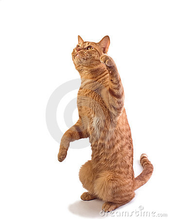 Orange tabby cat isloated