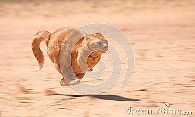 Orange tabby cat running full speed