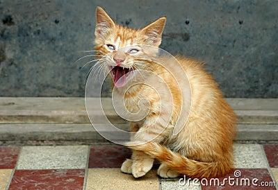 Orange tabby cat screaming