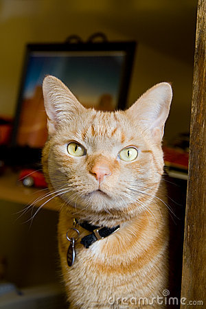 Orange Tabby Cat Stare