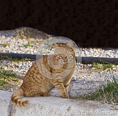 Orange Tabby - Yellow Cat
