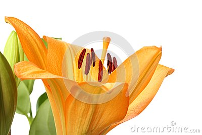 Orange Tiger Lily flower