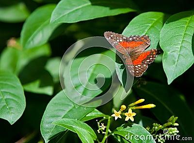 Orange Tiger Longwing