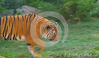 Orange tiger walking