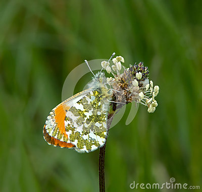 Free Orange Tip Butterfly Stock Photography - 41295872