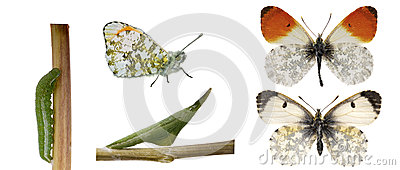 The orange tip, life cycle