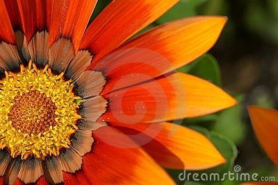 Orange treasure flower